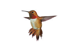 Male rufous Hummingbird. Hovering in air Stock Photos