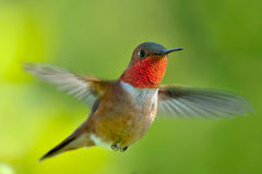 Male rufous Hummingbird. Hovering in air Stock Image