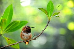 Male rufous hummingbird Royalty Free Stock Photos