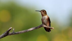 Male Rufous hummingbird chasing other birds away
