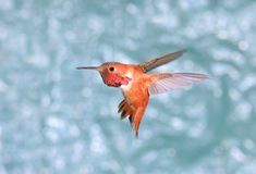 Male Rufous Hummingbird in Flight, green background Royalty Free Stock Photography