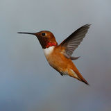 Male Rufous Hummingbird. Side profile of a male Rufous Hummingbird in flight Stock Image