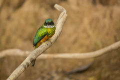 Male Rufous-tailed Jacomar Perched on Branch, Frontal View Stock Image