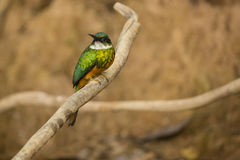 Male Rufous-tailed Jacomar Perched on Branch, Head Turned Stock Photos