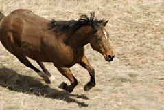 male running för brun häst Arkivbild