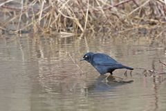 Male Rusty Blackbird, Euphagus carolinus stock images