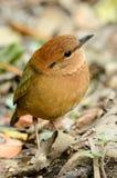Male rusty-naped pitta. Beautiful male rusty-naped pitta (Pitta oatesi) possing on ground Stock Photo