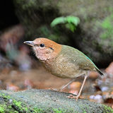 Male Rusty-naped Pitta. Beautiful brown bird, male Rusty-naped Pitta (Pitta oatesi), standing on the rock, side profile Royalty Free Stock Photo