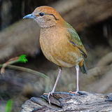 Male Rusty-naped Pitta Stock Image