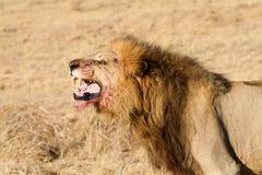 male ryta wild för afrikansk lion Arkivfoton