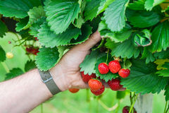 A male`s hand holding strawberries growing on a bush. Selective foucs Royalty Free Stock Images