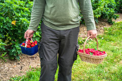 A male`s hands holding a basket full of freshly picked fruit. A male`s hands holding a basket full of freshly picked raspberries and strawberries Stock Image