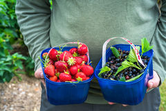 A male`s hands holding a basket full of freshly picked fruit Royalty Free Stock Photos