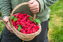 A male`s hands holding a basket full of freshly picked fruit. A male`s hands holding a basket full of freshly picked raspberries Royalty Free Stock Image
