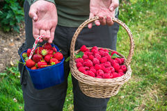 A male`s hands holding a basket full of freshly picked fruit. A male`s hands holding a basket full of freshly picked raspberries and strawberries Stock Photo