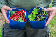 A male`s hands holding a baskets full of freshly picked redcurra. Nt and blackcurrant Stock Photo