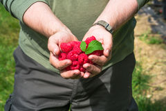 A male`s hands holding raspberries. A male`s hands holding a handful of raspberries Stock Photography