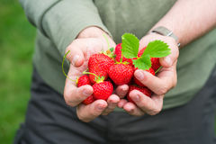 A male`s hands holding strawberries Royalty Free Stock Images