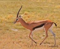 male s thomson för gazelle Arkivbilder