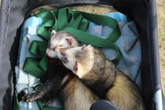 Male sable hob ferrets on an outing Stock Images