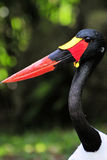 Male Saddle-billed Stork Royalty Free Stock Photography
