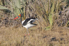 Male Saddle-Billed Stork Fluffing Wings Stock Images