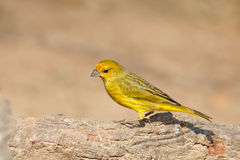 Male Saffron Finch perched Royalty Free Stock Photography