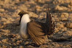 Male Sage Grouse. Strutting in Lek near Wiser, Idaho Royalty Free Stock Photo
