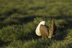 Male Sage Grouse (Centrocercus urophasianus) dances on the lek in golden morning sunlight. A male Sage Grouse dances among green grasses on the lek in golden Stock Images