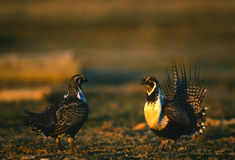 Male Sage Grouse Sparring. Two male sage grouse displaying dominace at one another on a lek in early morning Stock Photos
