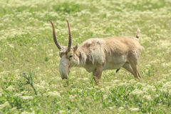 Male Saiga. Adult male saiga graizes in the steppe Stock Images