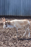 Male saiga or Saiga tatarica. In winter coloration Royalty Free Stock Photo