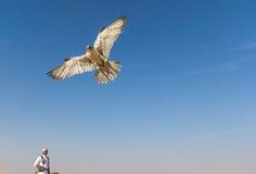 Male saker falcon during a falconry flight show in Dubai, UAE. Royalty Free Stock Photos