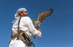 Male saker falcon during a falconry flight show in Dubai, UAE. Male saker falcon Falco cherrug during a desert falconry flight show with a male falconer dressed Royalty Free Stock Images