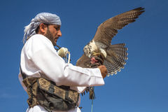 Male saker falcon during a falconry flight show in Dubai, UAE. Stock Photography