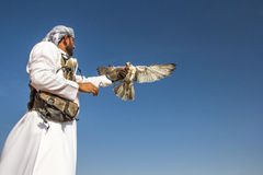 Male saker falcon during a falconry flight show in Dubai, UAE. Royalty Free Stock Image