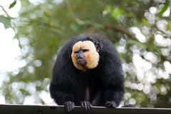 Male Saki Monkey 1. Male White-Faced Saki Monkey wearing a white & x22;face mask& x22 Royalty Free Stock Photography
