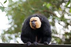 Male Saki Monkey 1 Royalty Free Stock Photography