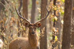 Free Male Sambar Deer Royalty Free Stock Photography - 34177907