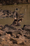Male sambar deer bathing in water hole Stock Image