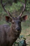 Male sambar deer close-up. In grassy clearing Stock Photos