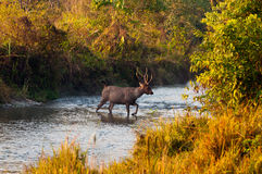 Male Sambar stag Royalty Free Stock Photos