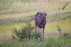 Male Sambar deer(Rusa unicolor ) Royalty Free Stock Image