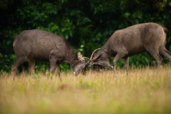 Male Sambar deer stags fighting. Khao Yai National Park. World Heritage Site. Thailand Stock Photography