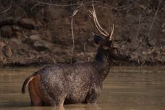 Male sambar deer standing in sunlit water Stock Image