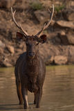 Male sambar deer standing in water hole Stock Image