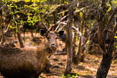 Male Sambar Deer watching Stock Image