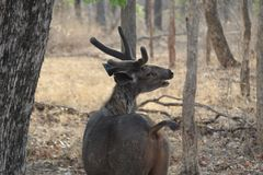 Male sambher deer at meeting call royalty free stock photo