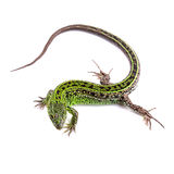 Male of sand lizard isolated on white Stock Images