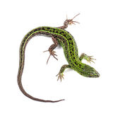 Male of sand lizard isolated on white Royalty Free Stock Image